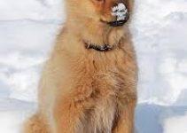 Best Dog Collar For Finnish Spitz