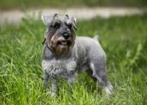 5 Best Dog Collars for Miniature Schnauzers (Reviews Updated 2021)