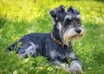 5 Best Dog Crates for Miniature Schnauzers (Reviews Updated 2021)