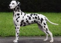 5 Best Dog Harnesses for Dalmatians (Reviews Updated 2021)