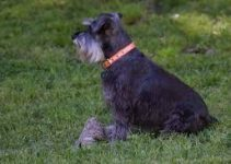 5 Best Dog Harnesses for Miniature Schnauzers (Reviews Updated 2021)