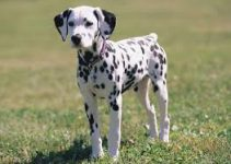 5 Best Dog Toys for Dalmatians (Reviews Updated 2021)