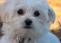5 Best Dog Training Books for Maltese (Reviews Updated 2021)