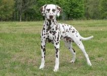 Best Puppy Food For Dalmatians