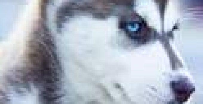 Best Puppy Food For Huskies