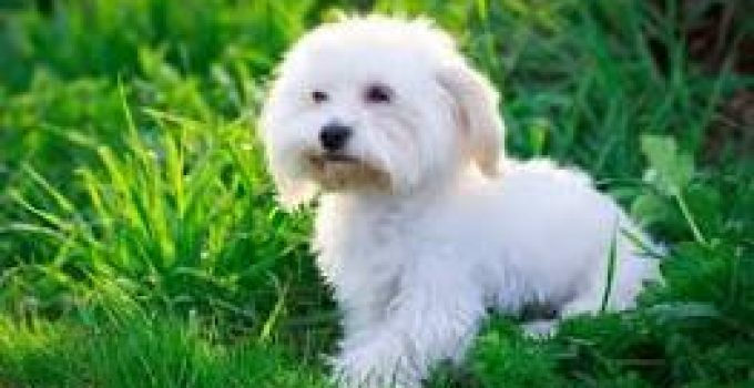 Best Puppy Food For Maltese