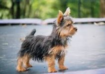 Dog Brush For Silky Terriers