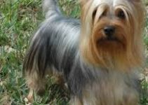 5 Best Dog Collars for Silky Terriers (Reviews Updated 2021)