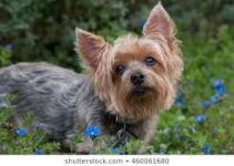 5 Best Dog Foods for Silky Terriers (Reviews Updated 2021)