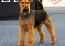 Dog Food For Welsh Terriers