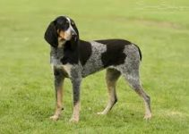 5 Best Dog Harnesses for Bluetick Coonhounds (Reviews Updated 2021)