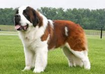 Dog Harness For Saint Bernards