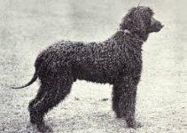 Dog Shampoo For Irish Water Spaniels