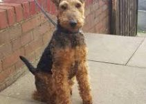 5 Best Dog Shampoos for Welsh Terriers (Reviews Updated 2021)