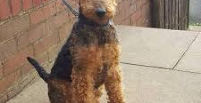 Dog Shampoo For Welsh Terriers