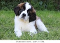 Dog Toys For Saint Bernards
