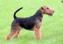 5 Best Dog Toys for Welsh Terriers (Reviews Updated 2021)