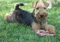 5 Best Puppy Foods for Welsh Terriers (Reviews Updated 2021)
