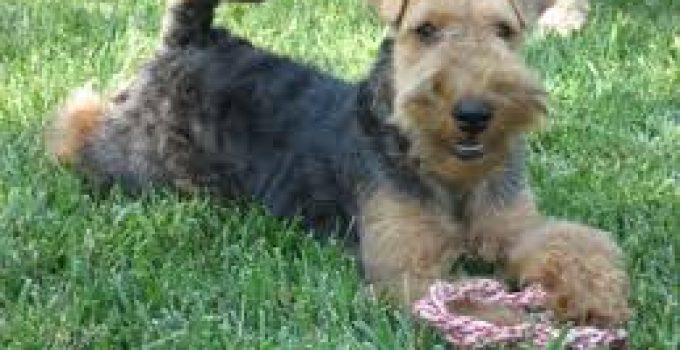 Puppy Food For Welsh Terriers