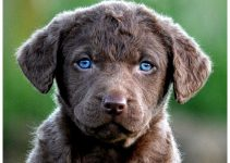 5 Best Puppy Foods for Chesapeake Bay Retrievers (Reviews Updated 2021)