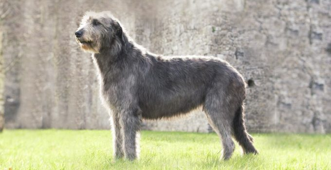 Afaird Dog Breed Information – All You Need To Know