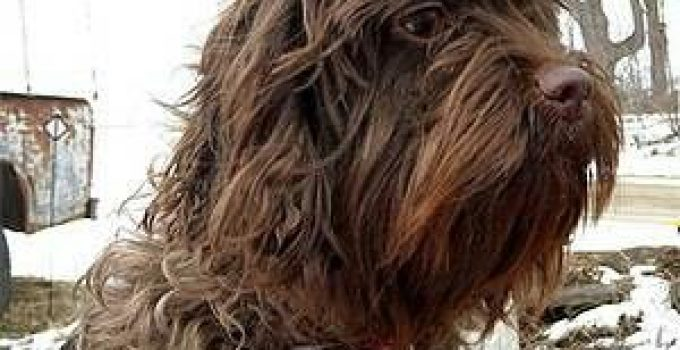 Affen Spaniel Dog Breed Information – All You Need To Know