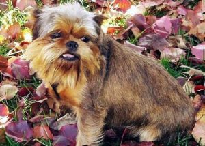 Affengriffon Dog Breed Information – All You Need To Know