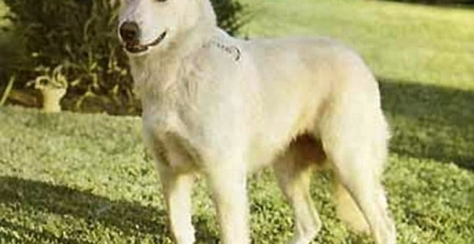 Aidi Dog Breed Information – All You Need To Know