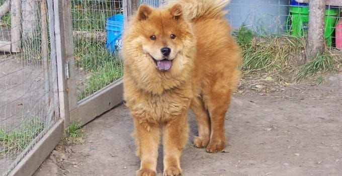 Akita Chow Dog Breed Information – All You Need To Know