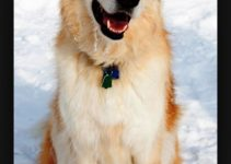 Alaskan Goldenmute Dog Breed Information – All You Need To Know