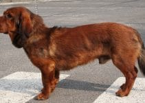 Alpine Dachsbracke Dog Breed Information – All You Need To Know