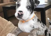 American Bull Aussie Dog Breed Information – All You Need To Know