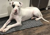 American Bull Dane Dog Breed Information – All You Need To Know