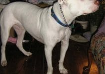 American Bull Jack Dog Breed Information – All You Need To Know
