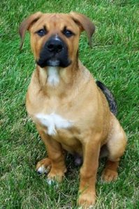 American Bullweiler Dog Breed Information – All You Need To Know