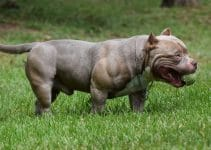 American Bully Dog Breed Information – All You Need To Know