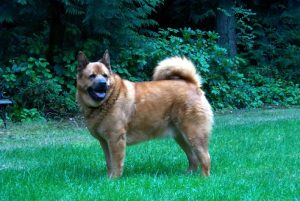 American Chow Bulldog Dog Breed Information – All You Need To Know