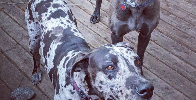 American Foxy Dane Dog Breed Information – All You Need To Know