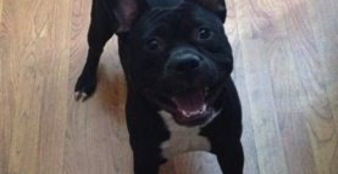 American French Bull Terrier Information – All You Need To Know