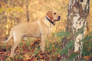 American Gointer Dog Breed Information – All You Need To Know