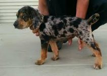 American Leopard Hound Dog Breed Information – All You Need to Know