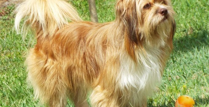 Auss Tzu Dog Breed Information All You Need To Know