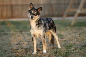 Aussie Siberian Dog Breed Information – All You Need To Know