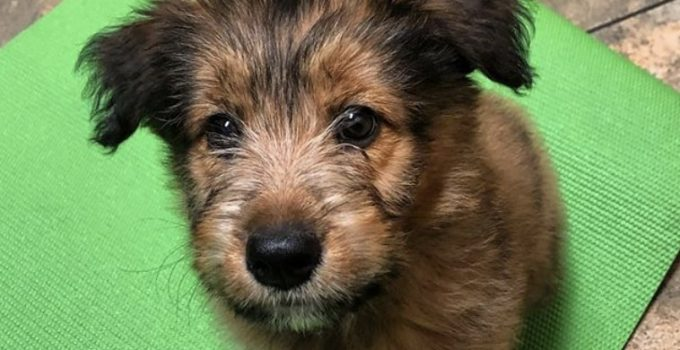 Aussie Wheaten Dog Breed Information – All You Need To Know