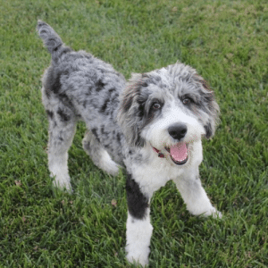 Aussiedoodle Dog Breed Information – All You Need To Know