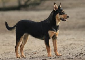 Australian Kelpie Dog Breed Information – All You Need To Know