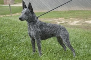 Australian Stumpy Tail Cattle Dog Breed Information – All You Need To Know