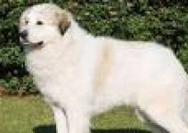 5 Best Dog Collars for Great Pyrenees (Reviews Updated 2021)