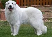 5 Best Dog Shampoos for Great Pyrenees (Reviews Updated 2021)