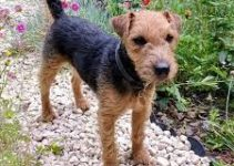 5 Best Dog Shampoos for Lakeland Terriers (Reviews Updated 2021)